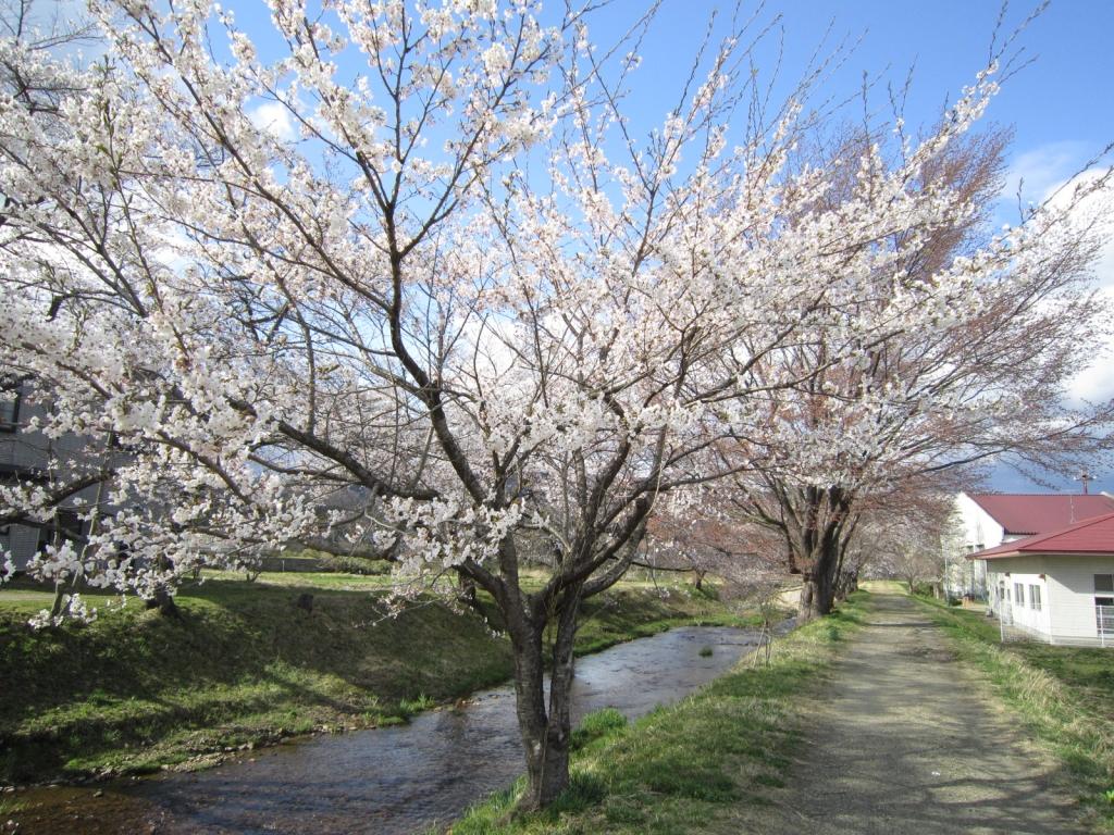 4月16日の桜2