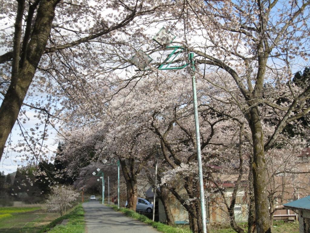 4月16日の桜3