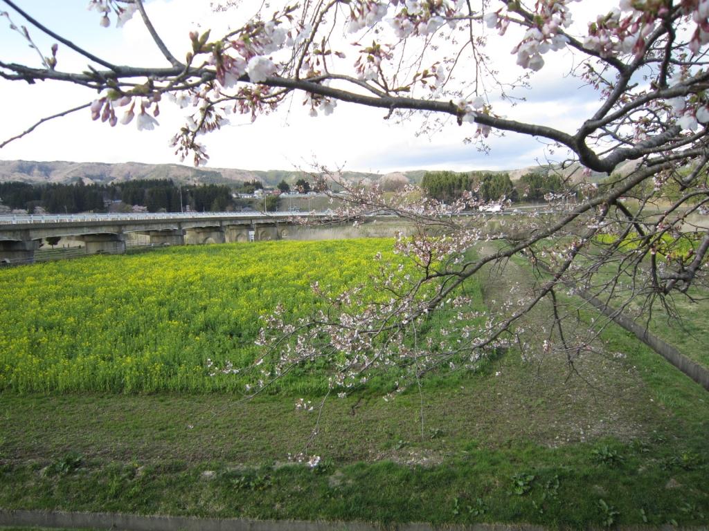 4月16日の桜と菜の花