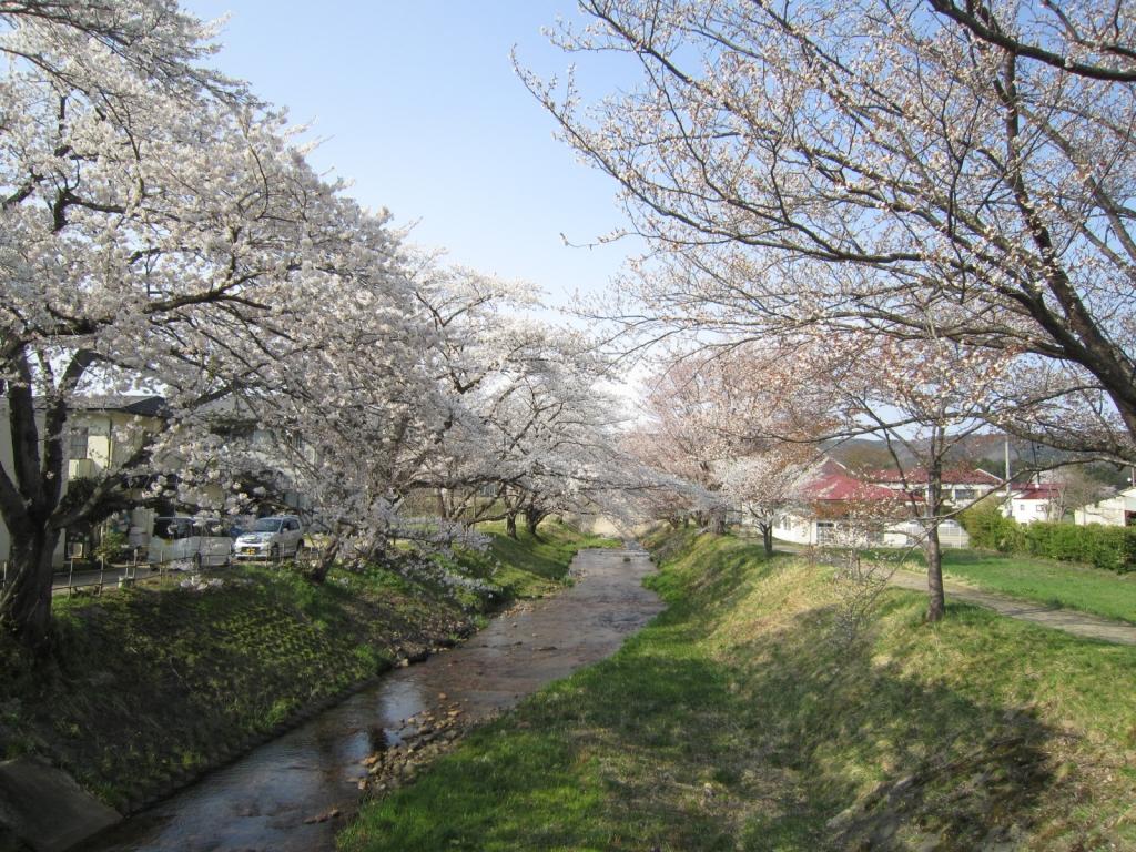 4月19日の桜1