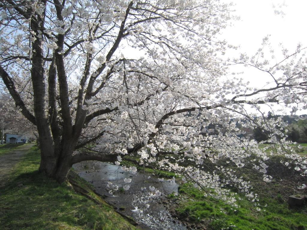 4月19日の桜2