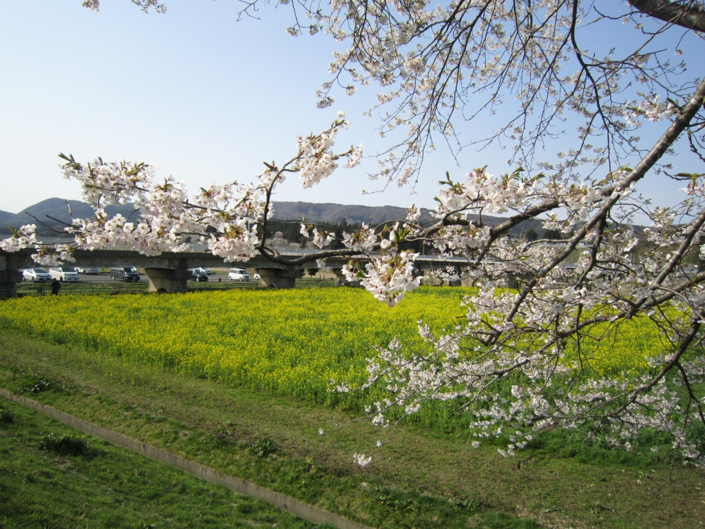 4月19日の桜と菜の花