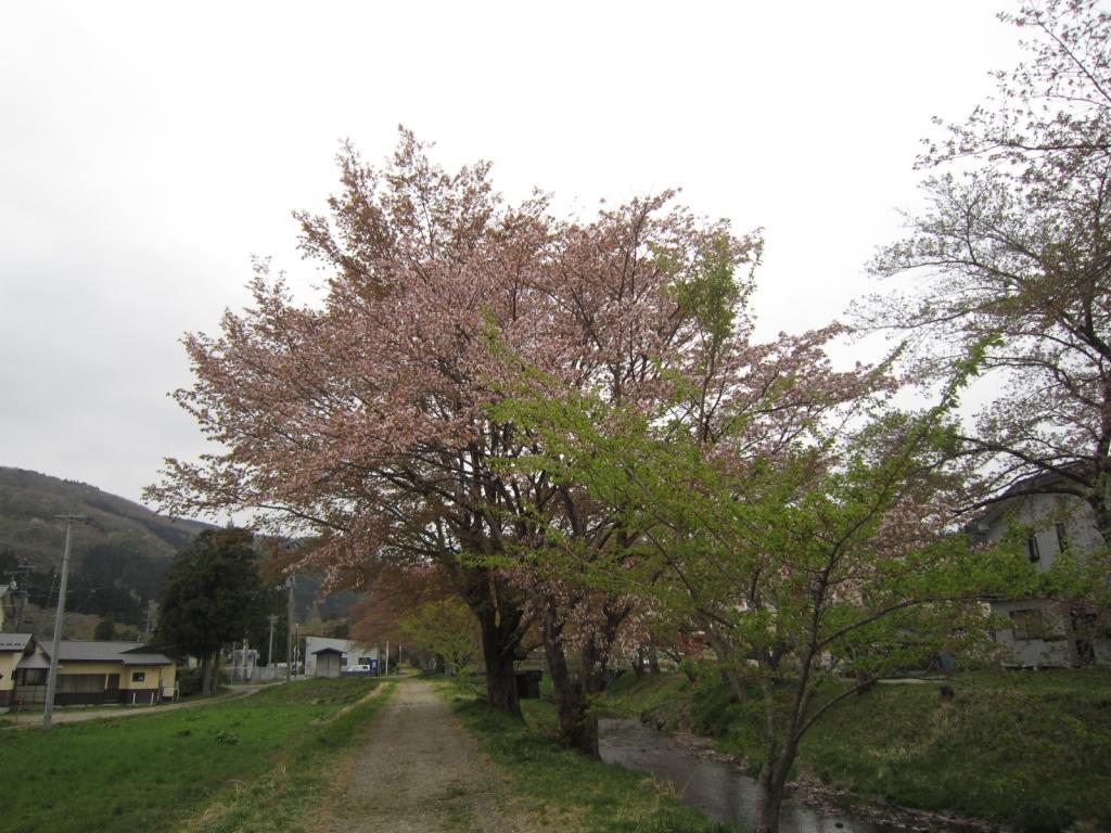 4月23日の桜1
