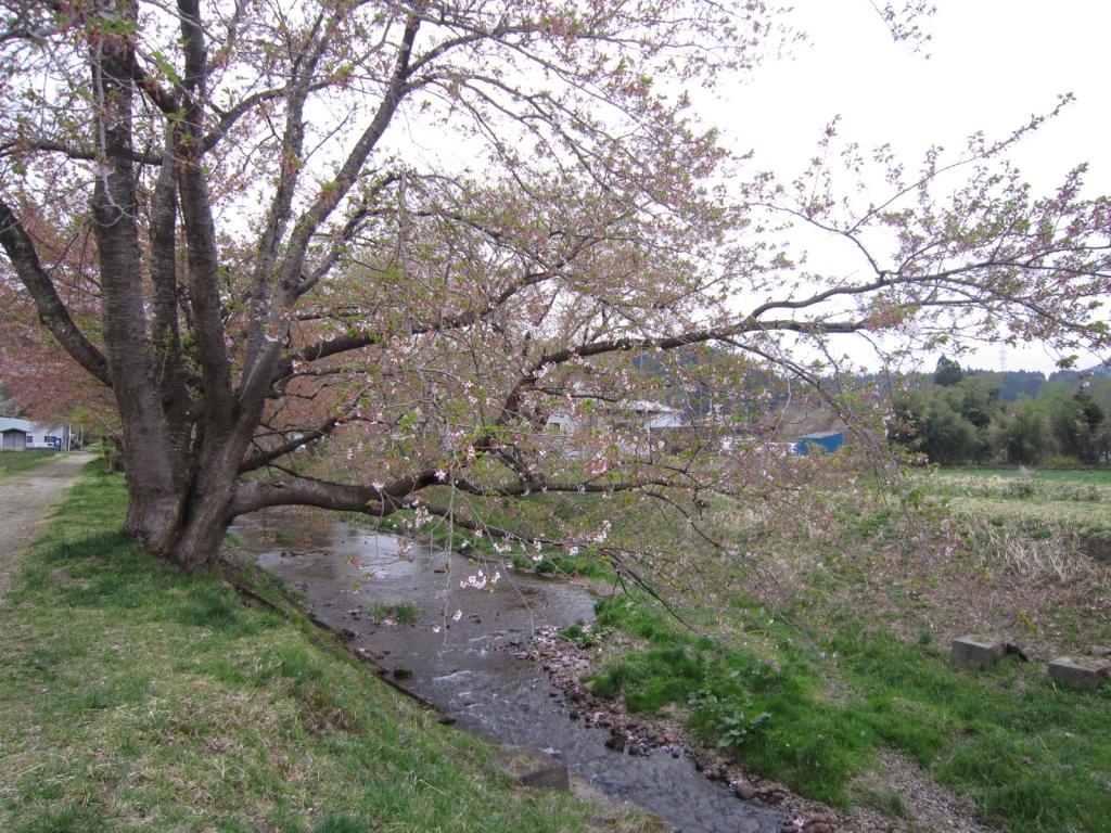 4月23日の桜2