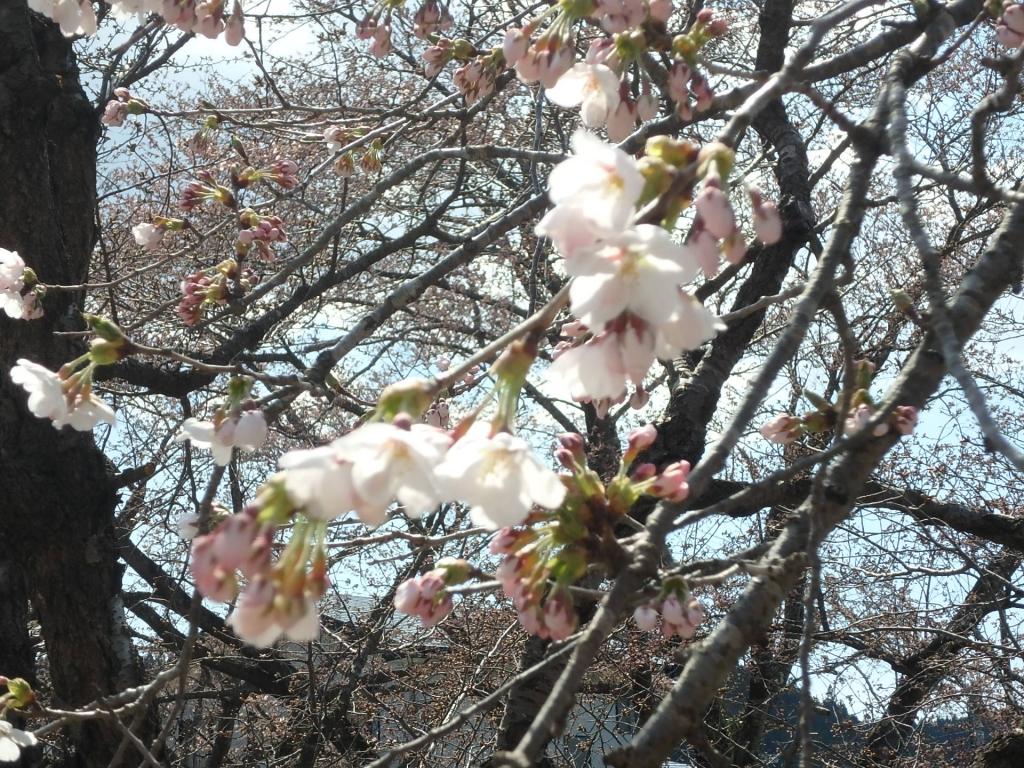 平成31年4月18日桜1