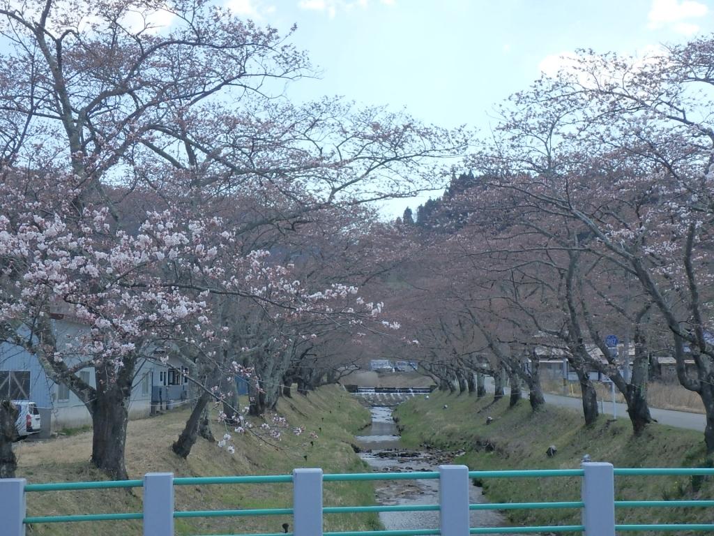 平成31年4月18日桜2