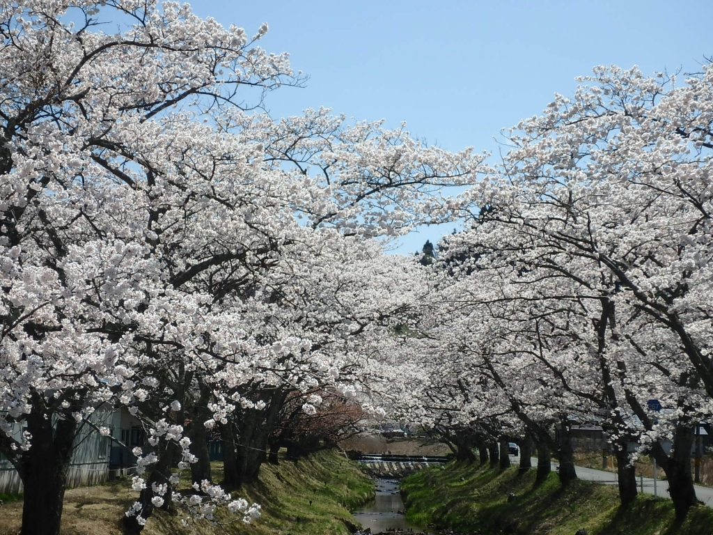 平成31年4月22日桜1.4