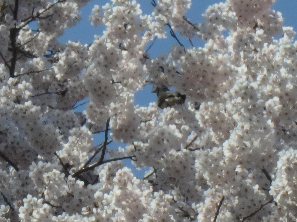 平成31年4月22日桜3