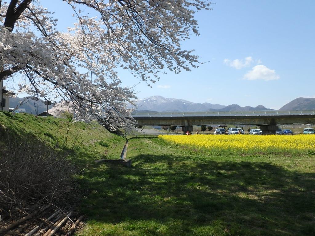 平成31年4月22日菜の花3