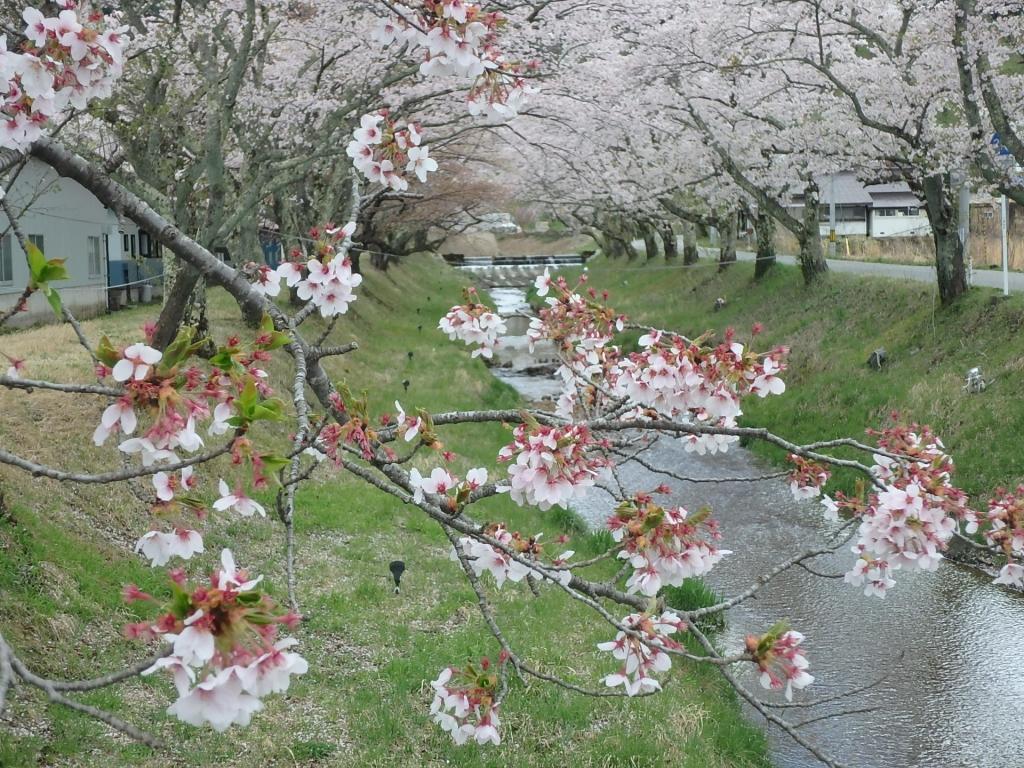 平成31年4月25日桜2