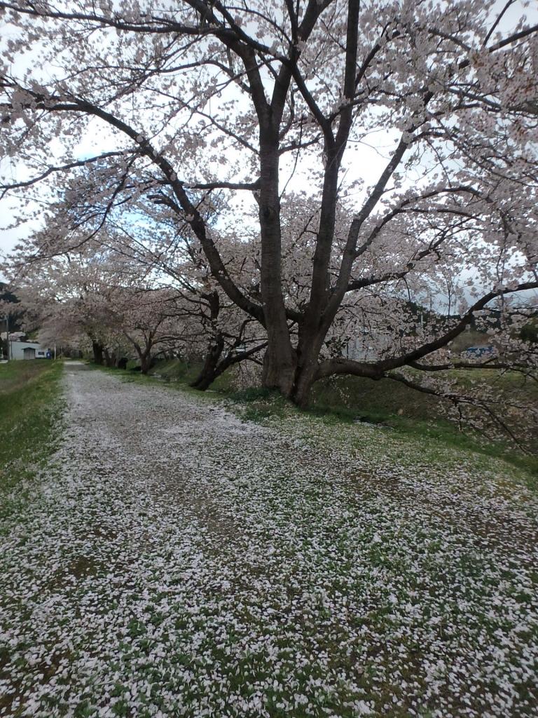 平成31年4月25日桜1