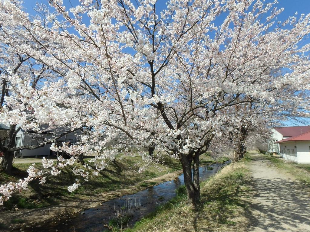令和2年4月16日桜1