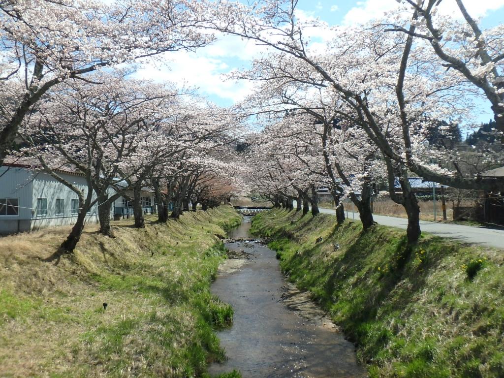 令和2年4月16日桜2