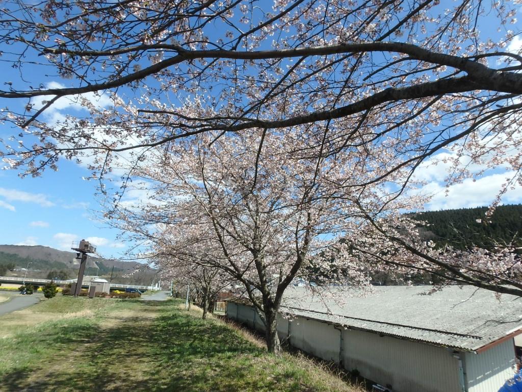 令和2年4月16日桜3