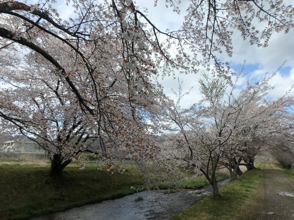 令和2年4月23日桜3