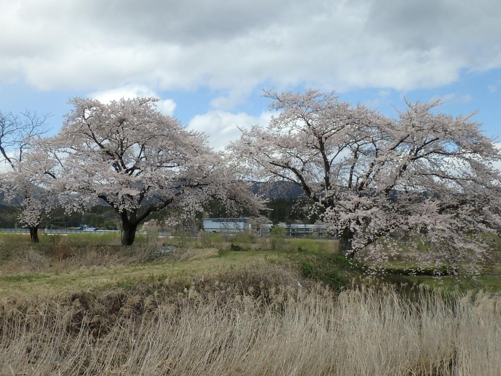 令和2年4月23日桜4