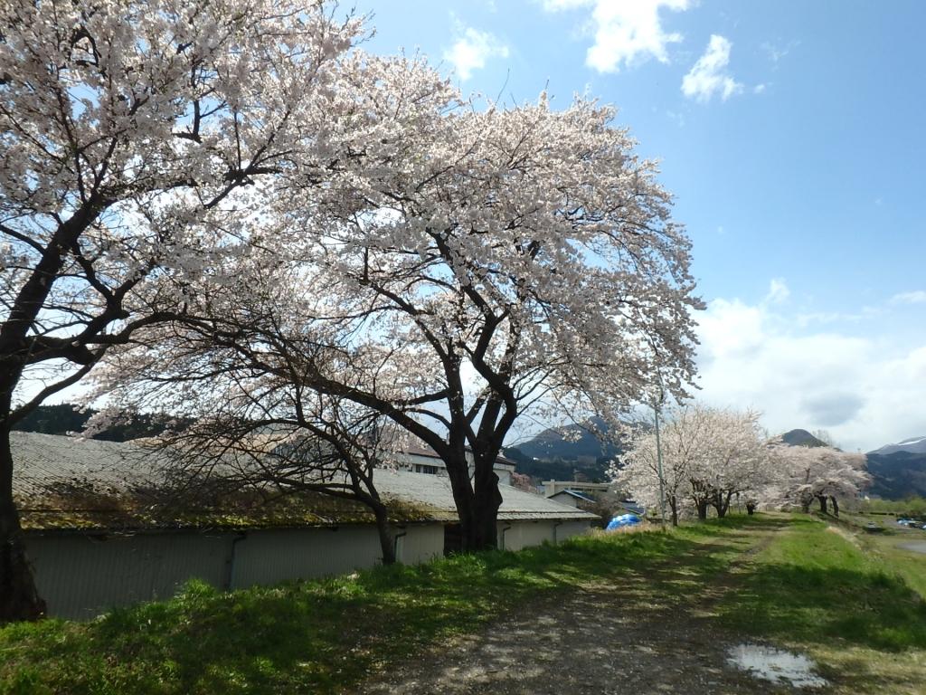 令和2年4月23日桜5