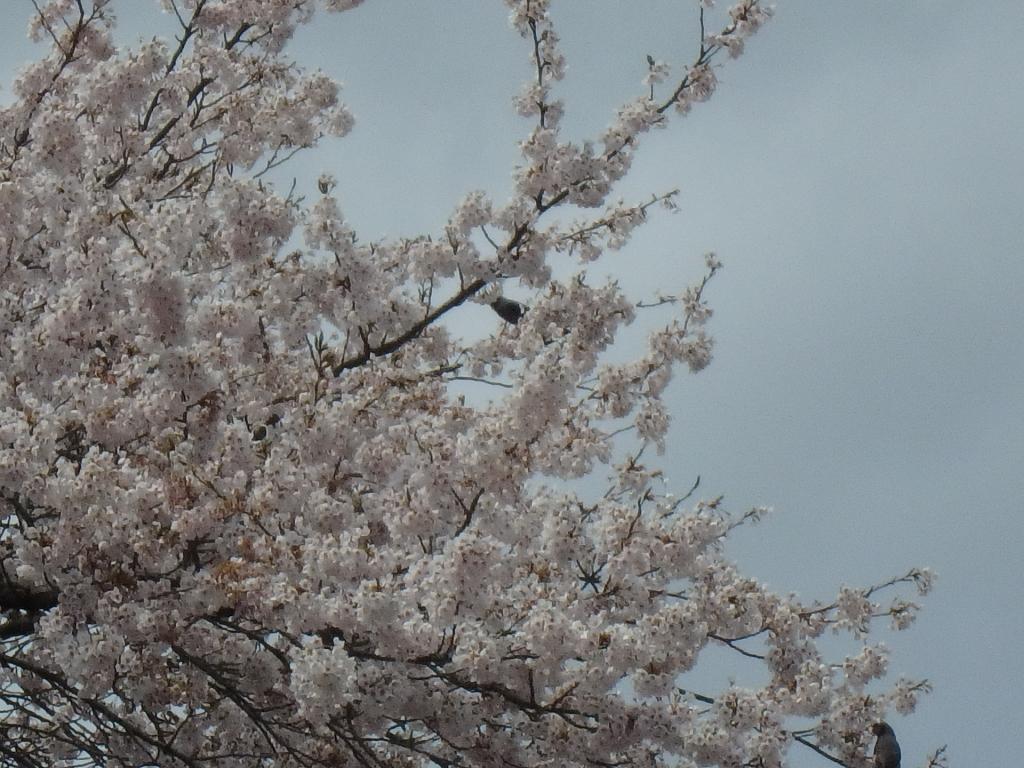 令和2年4月23日桜6