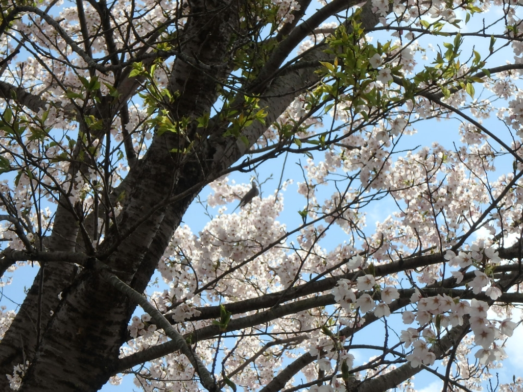 令和2年4月23日桜7
