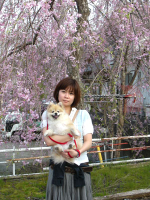 私と犬と桜