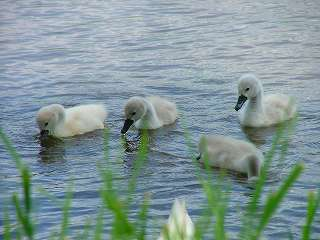 洞爺湖の子白鳥…親が傍で黙って見ています