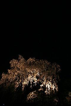 二条城夜桜ライトアップ