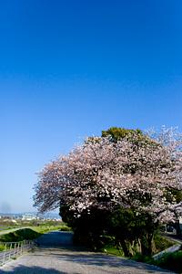 京都嵐山公園の桜
