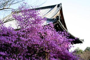 仁和寺とツツジ