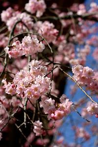 仁和寺の桜と匠