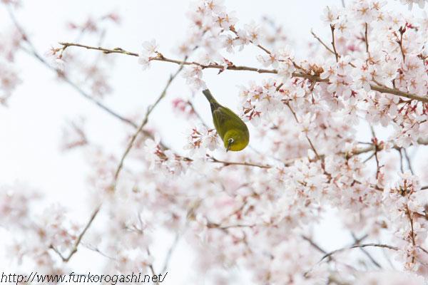 江戸彼岸桜とメジロ