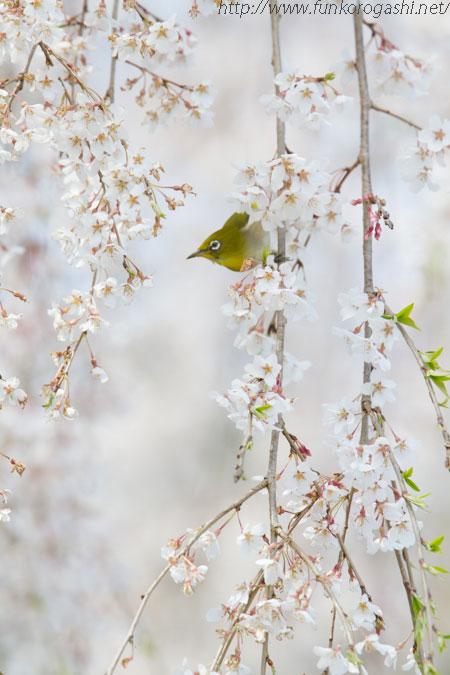 枝垂れ桜とメジロ
