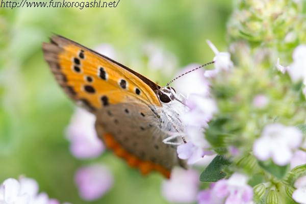 タイムと蝶