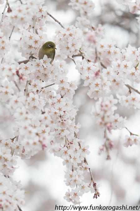 枝垂桜メジロ