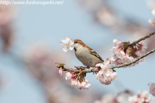 桜ニュウナイスズメ