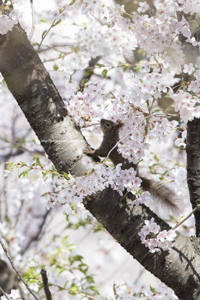 桜 ニホンリス