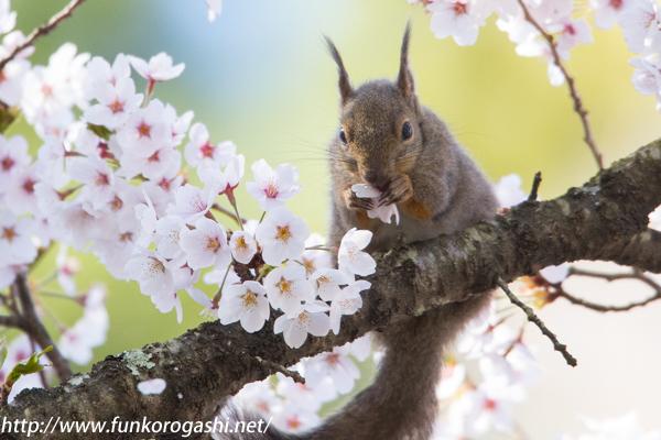 桜ニホンリス