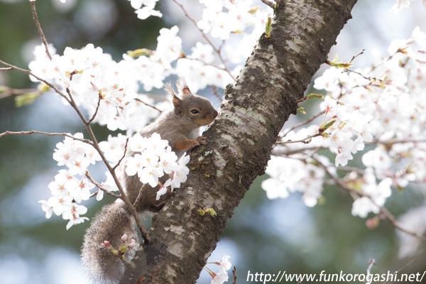 桜とニホンリス
