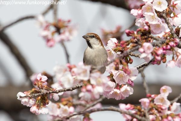 大寒桜ニュウナイスズメ