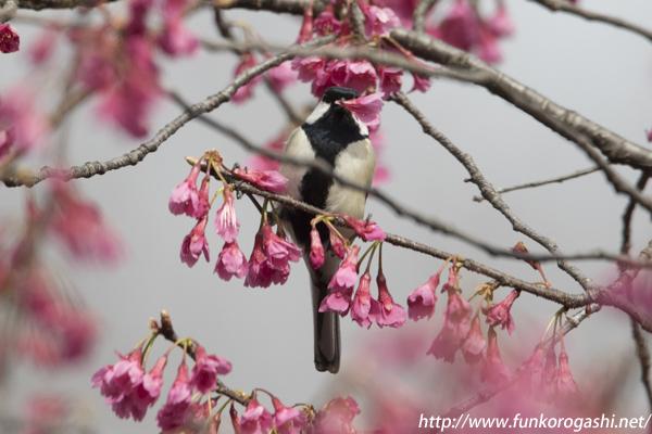 寒緋桜 シジュウカラ 花ラッパ