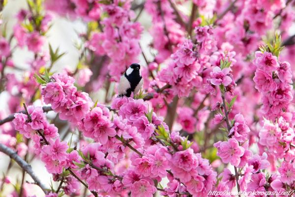 花桃シジュウカラ