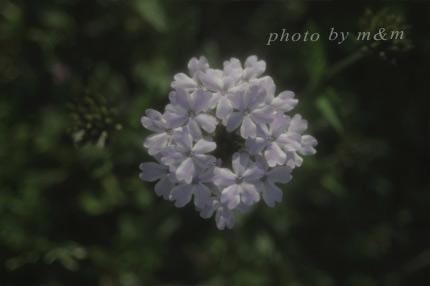 白い花・写真
