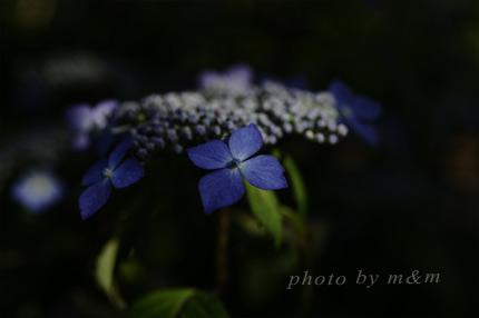 紫陽花・写真
