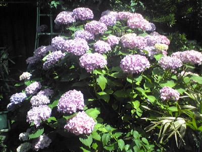 旧自宅の紫陽花