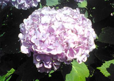 旧自宅の紫陽花2