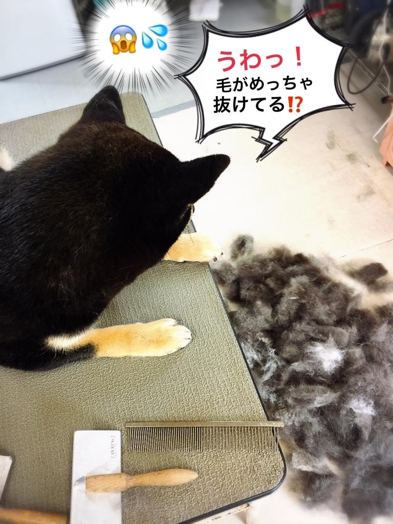 クロ柴犬りゅう君のブラッシング後の毛の束