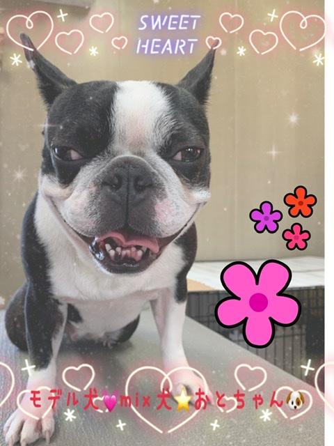 ボストンテリア&フレンチブルドックのミックス犬