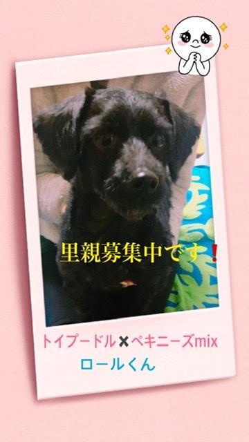 トイプードルとペキニーズミックス犬の画像
