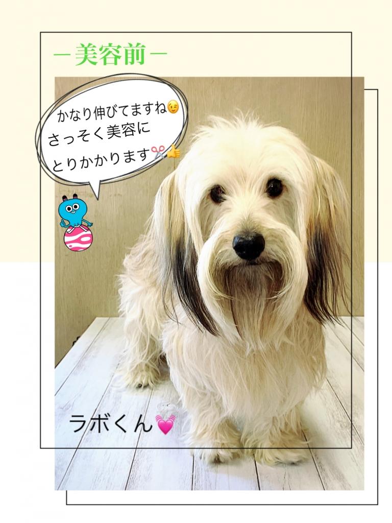 ミニチュアダックスとシュナウザーのミックス犬の画像