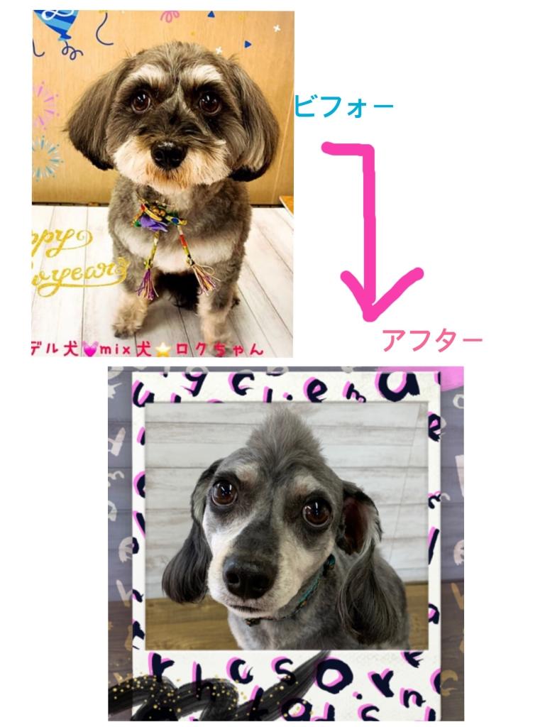 ダックスとシュナウザーのミックス犬六ちゃん画像