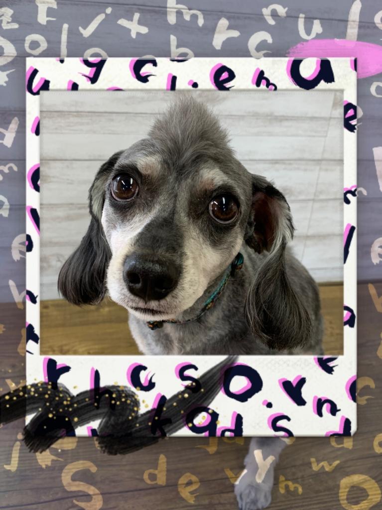 シュナウザーのミックス犬のモヒカンカットの画像